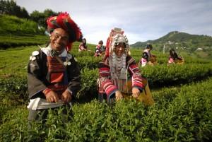 Local Lifestyle Tea plantage - Northern Thailand Chiangrai